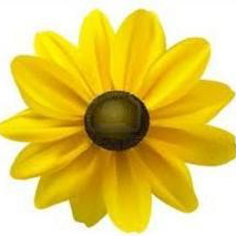 cropped-black-eyed-susan-13